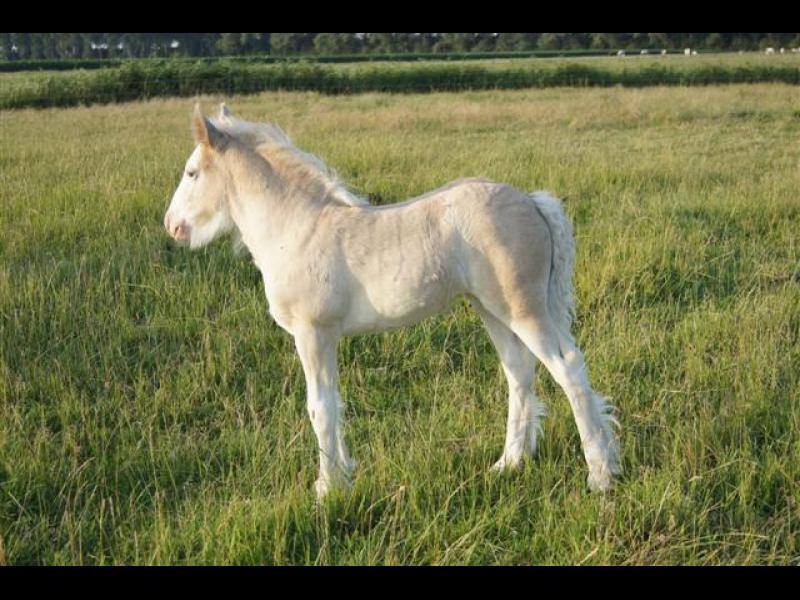 Ons eerste silver dapple merrieveulen is geboren op 2 juni 2011. Notre premier pouliche silver est née le 2 juin 2011.