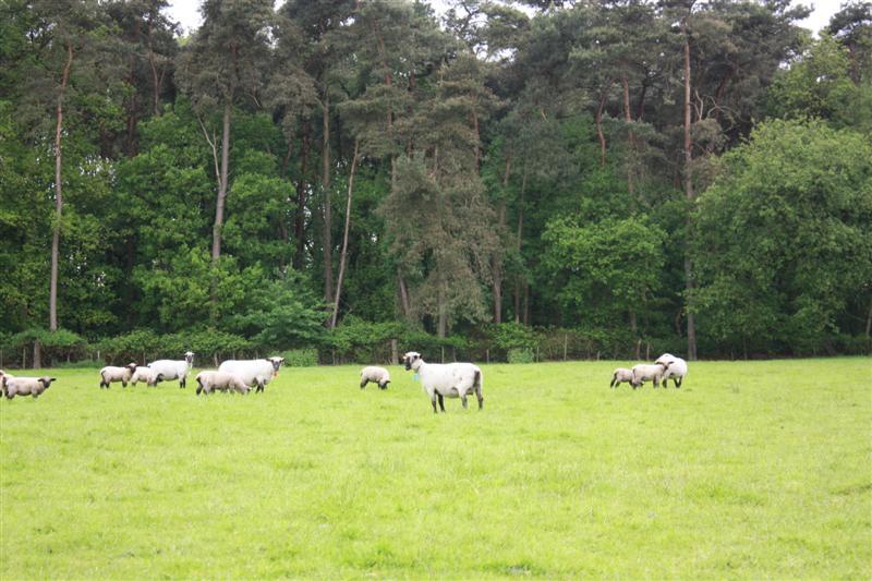 groep hampshire downs in natuurlijke omgeving